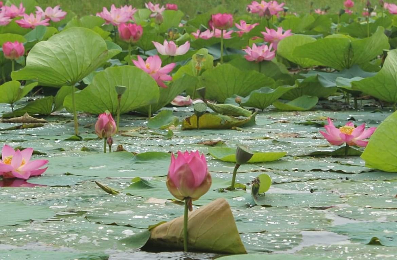 В августе цветут розовые лотосы. Где в ЕАО их можно увидеть?