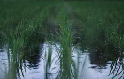 田んぼ梅雨