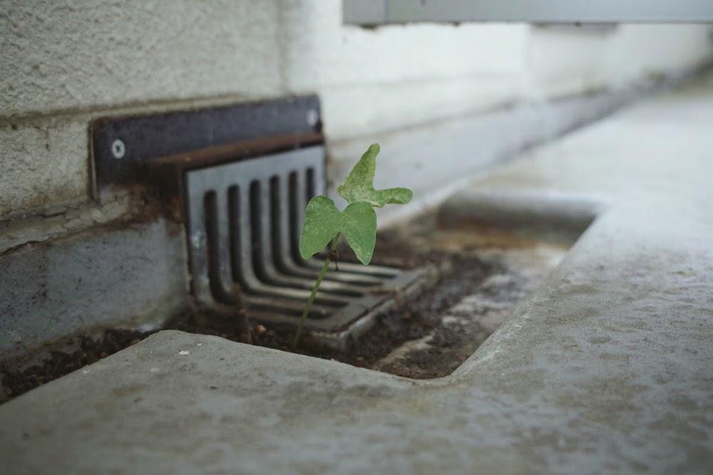 排水口で発芽