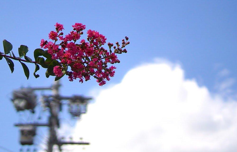 サルスベリと青空と雲