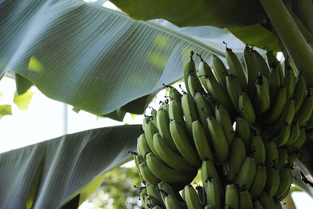 新宿御苑温室バナナ