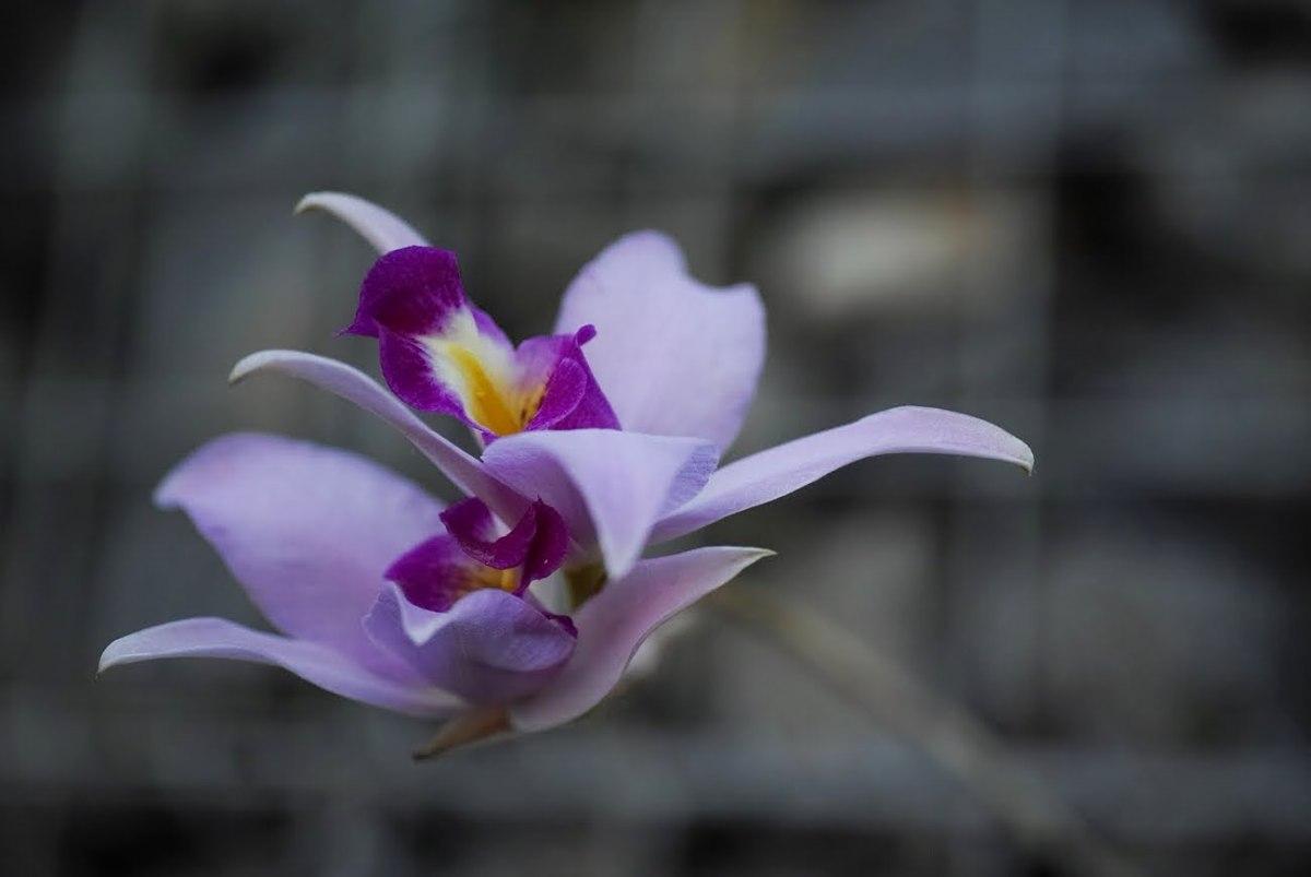 新宿御苑温室ファレノプシス