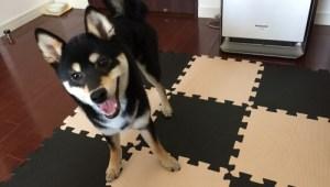 柴犬 遊び方