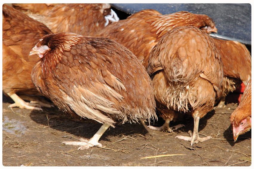 Kienyenji Chicken Diseases – Top 5 Viral infections You Should Know About