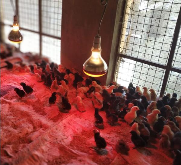 kuroiler chicks brooding