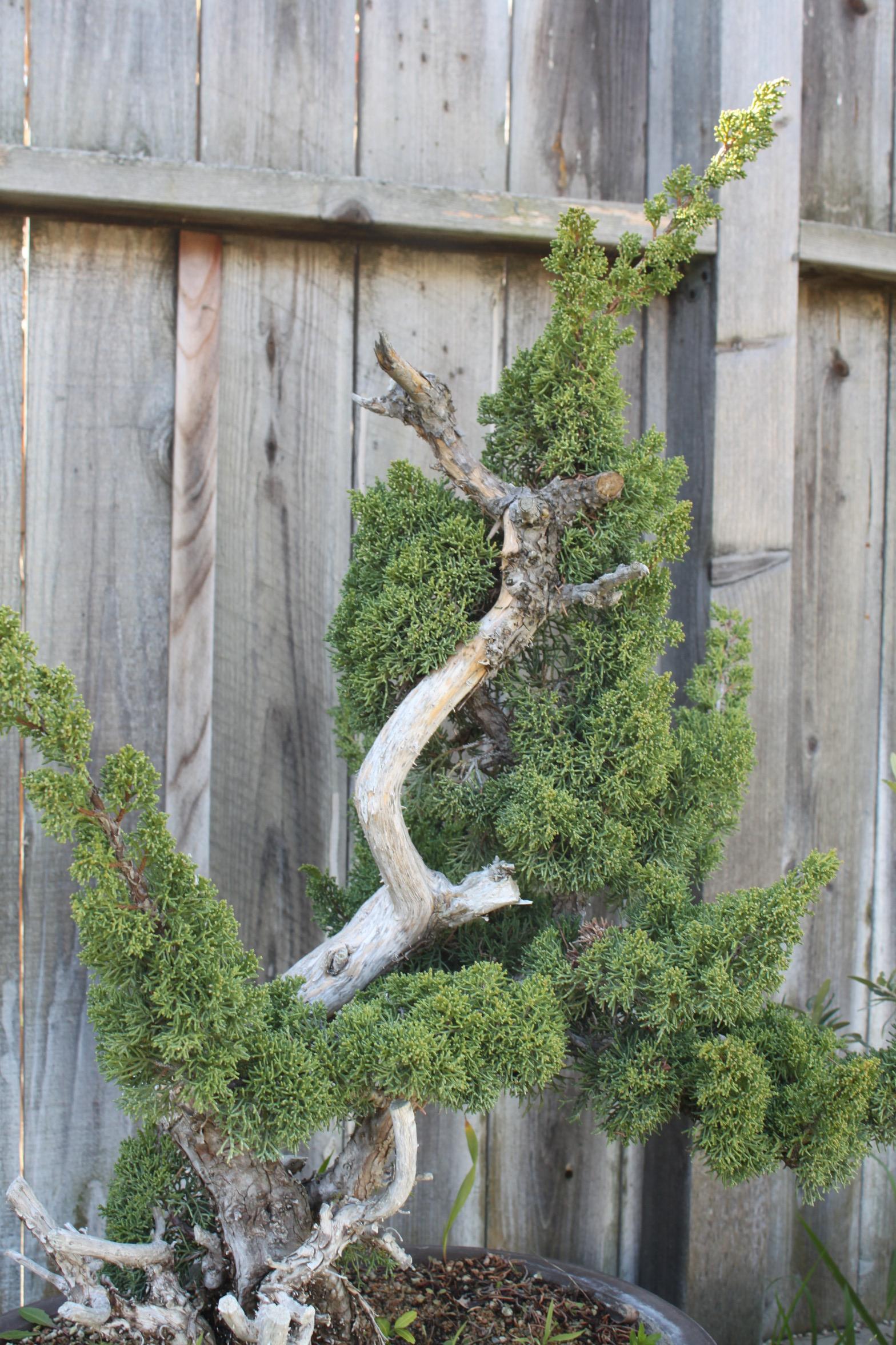 kitchen greenhouse window period cabinets shimpaku juniper or sargent bonsai ...
