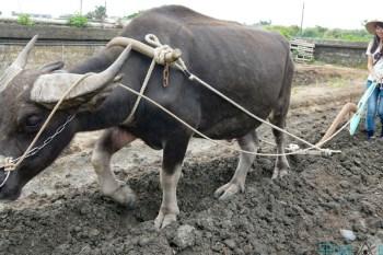 宜蘭壯圍景點 農村風情生活趣 牛頭司耕牛小學堂犁田日常