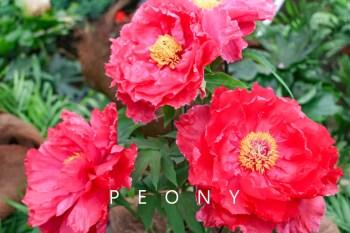 南投景點 杉林溪牡丹花 花卉中心賞牡丹 難怪會被稱為花中之王