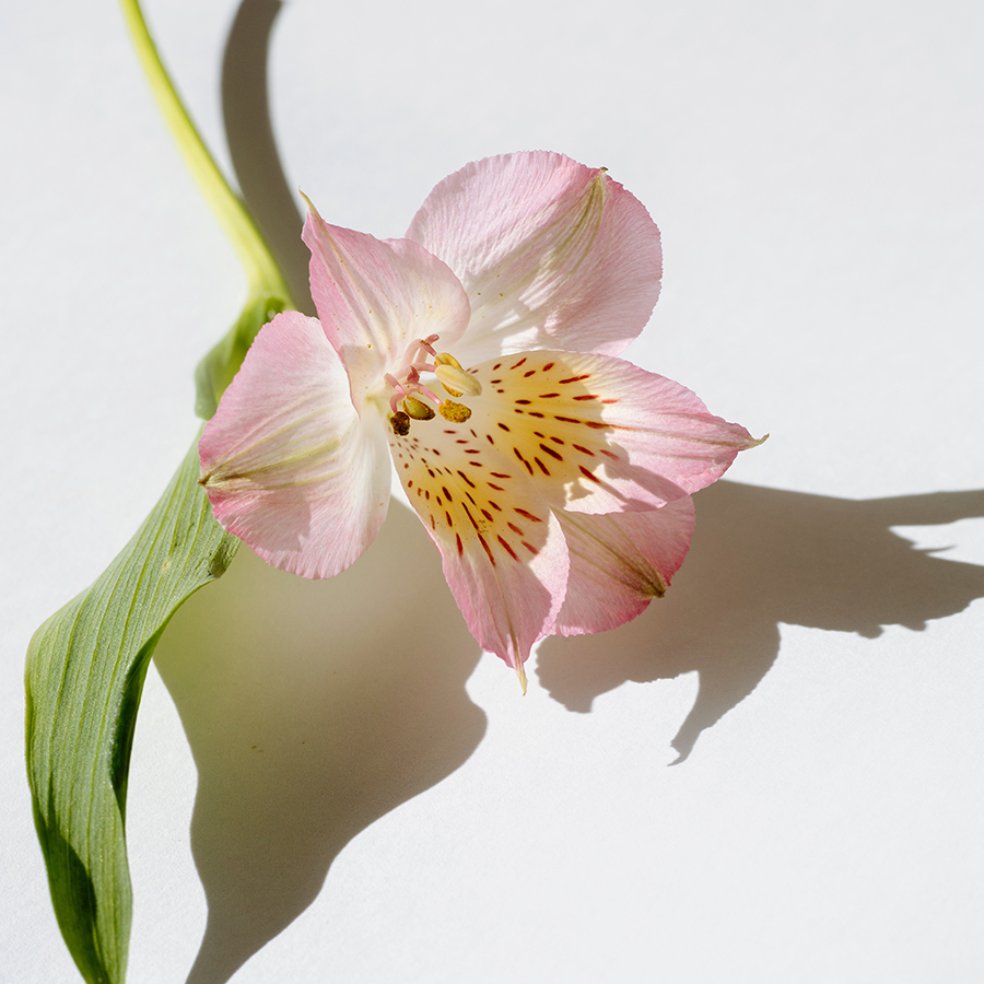 Pink flower with shadow contrast