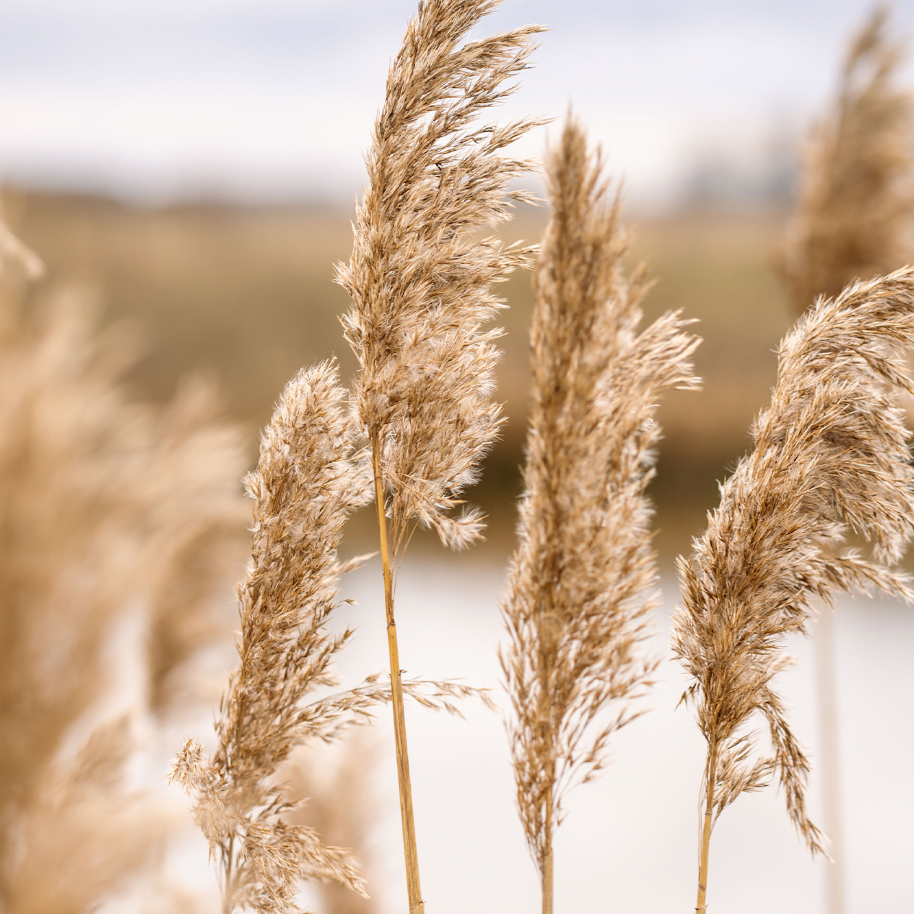 Pampas grass outdoors blowing in wind