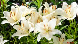 Bunga Lily - outerbloom.com