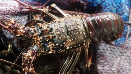 Harga Bibit Lobster - www.elshinta.com