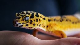 Harga Gecko (Tokek) - www.everythingreptiles.com