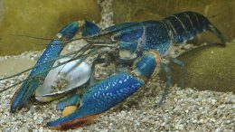 Lobster Air Tawar - www.agrowindo.com