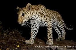 kurt jay bertels, camera trap, camera trap images, wildlife photography, BBC wildlife magazine, photography, leopard, female, night