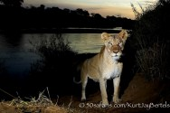 kurt jay bertels, camera trap, camera trap images, wildlife photography, BBC wildlife magazine, photography, lioness, lion, river, crossing
