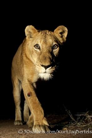 kurt jay bertels, camera trap, camera trap images, wildlife photography, BBC wildlife magazine, photography, lioness, night, lion, close up