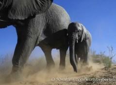 kurt jay bertels, camera trap, camera trap images, wildlife photography, BBC wildlife magazine, photography, elephant, mother and calf, running, dust