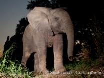 kurt jay bertels, camera trap, camera trap images, wildlife photography, BBC wildlife magazine, photography, elephant, young, calf, baby