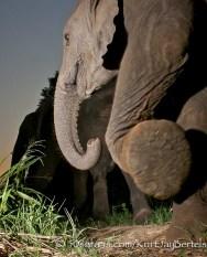 kurt jay bertels, camera trap, camera trap images, wildlife photography, BBC wildlife magazine, photography, elephant, foot