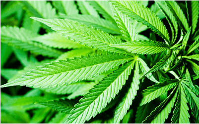 The 5 Best High-CBD Cannabis Strains to Grow In 2021