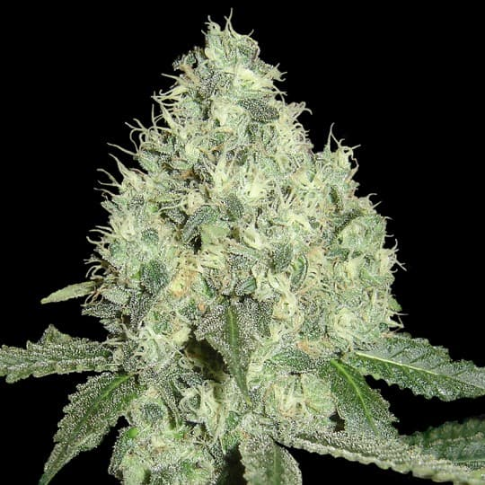 91 Krypt is a potent high Indica strain. Bred from the Chemdawg '91 stock crossed with our famous Captain Krypt OG
