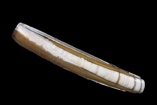 zwaardschede of ensis directus