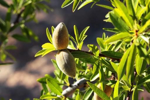 Almond oil-hidden secrets