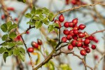Rosehip Seed Oil: New Insights.