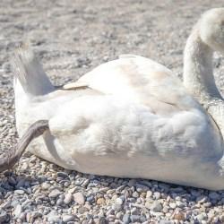 Ptasia grypa u łabędzia niemego