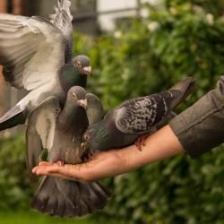 gołębie i drób można już wypuszczać