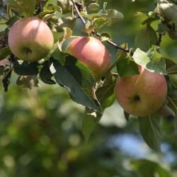 Światowy Dzień Jabłka: jabłek jemy... coraz mniej