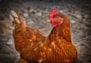 Ptasia grypa w naszym regionie już nie jest straszna