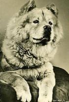 1951 chow