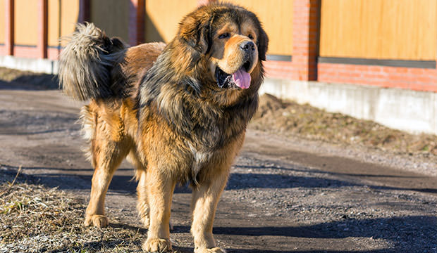 Egy kutya a legmegfelelőbb védelem