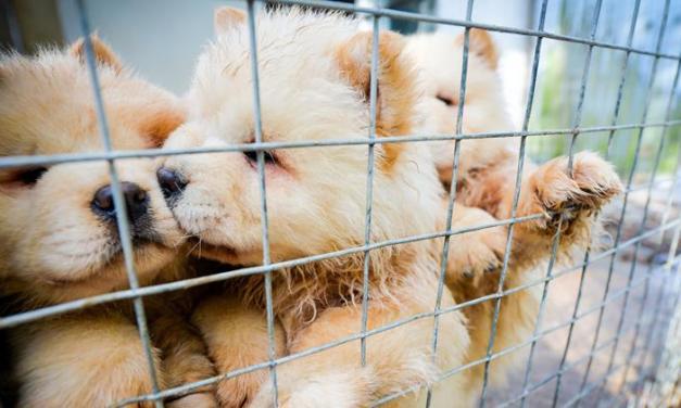 A karácsonyi keresletet kihasználva ártatlan kutyakölykök százait csempészik be illegálisan Nagy-Britanniába