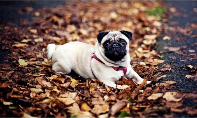 Egy új törvény alapjaiban változtatja meg néhány rövid orrú kutyafajta jövőjét és további tenyésztését Hollandiában