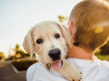 """Kulcsfontosságú, hogy • olyan tenyésztőtől vásárolj kutyát, aki rendszeresen szűri a kutyáit, így minimalizálhatod a genetikai kockázatot, • ivartalanítsd a kutyád és figyelj oda a megfelelő étrendre, • a környezeti kockázatok minimalizáld: cigarettafüst, mérgező vegyszerek, túlzott napfény. A """"rák"""" a köztudatban egy rettegett betegség, még a szót sem szívesen halljuk. Mivel azonban a kutyák körében ez a vezető halálozási ok, sajnos sok gazdinak kell szembesülnie vele. Sajnos a rák nagyon sok fajtája genetikai úton alakul ki, amely azt jelenti, hogy gazdiként nem sokat tehetünk az elkerülése érdekében. Mégis, vannak bizonyos módszerek, amelyekkel megakadályozhatjuk a rettegett kór kialakulását kutyánknál. Fontos, hogy amint a rák gyanúja felmerül, minél gyorsabban forduljunk állatorvoshoz. A tenyésztő kiválasztása és ivartalanítás Egyes közkedvelt fajták, mint a Golden Retrieverek és a Boxerek különösen hajlamosak bizonyos típusú rákokra. Ezen fajták felelős tenyésztői rendszeresen szűrik a tenyésztésbe vont egyedeket és amelyik kutyánál bekövetkezik a szomorú diagnózis, kivonják a tenyésztésből. Ezáltal egyre egészségesebb almok jönnek világra. A tenyésztő kiválasztásának egyik fő kritériuma, hogy az adott tenyésztő elvégzi-e a fajtára jellemző betegségekkel kapcsolatos szűrésket. Ha a kiskutya már megérkezett a családba, a következő kérdés, hogy ivartalanítsuk-e vagy sem. Ha igen, akkor mikor? Egyes külföldi kutatások szerint az ivarérettség előtti sterilizálás növelheti bizonyos rákok kialakulásának kockázatát. A kutatásban éppen a Golden Retrieverek esetében mutattak ki növekvő hajlamot a rákra, ivarérettség előtti sterilizálás esetén. Az ivarérettség előtti sterilizálás ráknövelő hatása azonban fajtánként eltérő lehet. Ivartalanítás előtt mindenképpen konzultáljon állatorvossal. Táplálkozási tippek a rák megelőzésére Az első és alapvető feladat, amelyet a kutyád egészséges és rákmentes élete érdekében tehetsz, az a testsúly kontroll. Ellenőrizd hetente, de mini"""