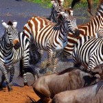 8 Day Adventure in Serengeti, Ngorongoro