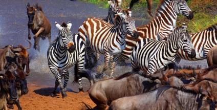 Wildebeest and Zebras in Serengeti Migration