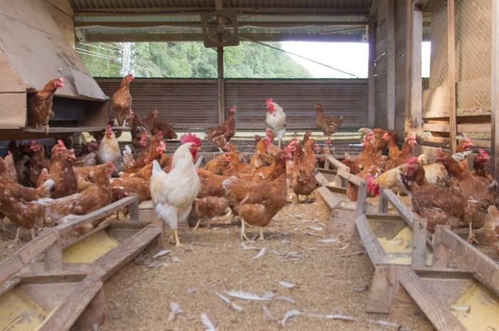 津木養鶏場鶏