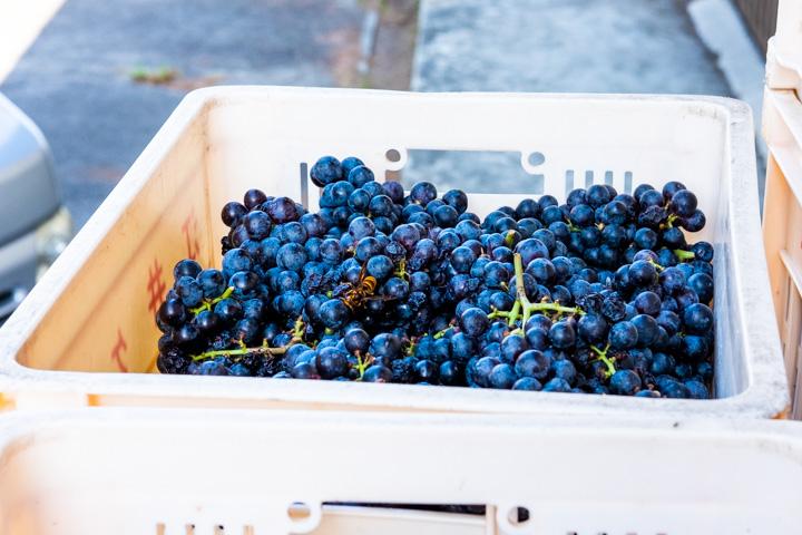 収穫されたメルロー:シャルマンワイン