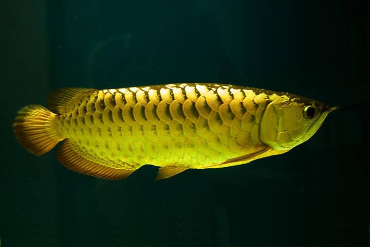 jenis ikan arwana cross back golden