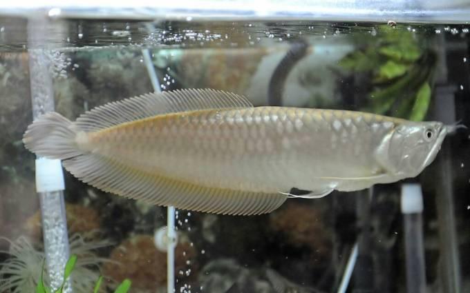 jenis ikan arwana silver
