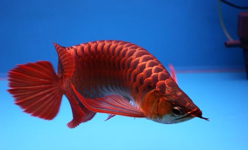 jenis ikan arwana super red