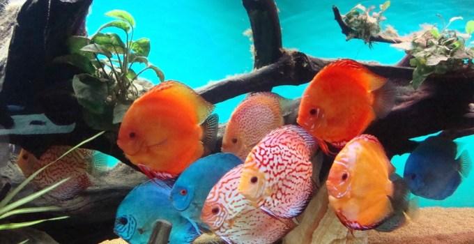 Jenis Ikan Discus Tercantik dan Termahal