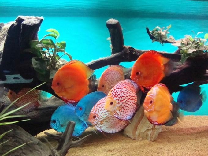Jenis Ikan Hias Discus