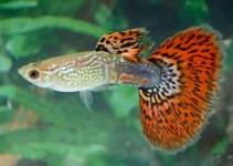 Jenis Ikan Guppy Tercantik