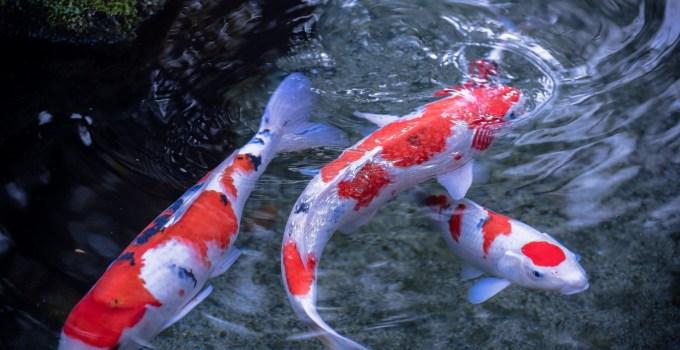 Jenis Ikan Koi Termahal dan Tercantik