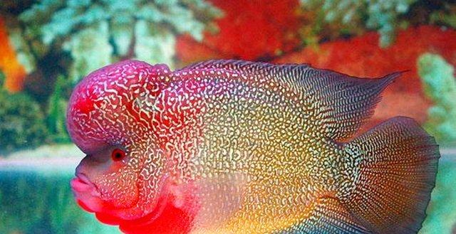 Harga Jenis Ikan Louhan Termahal